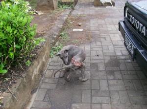 La souffrance dans l'indifférence, ce chien est voué à une mort lente et une douloureuse agonie.